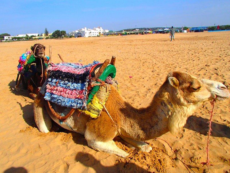Camels chillin'
