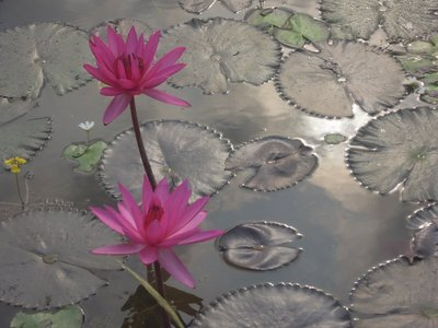 Lotus plants grow in the areas near the rice fields.