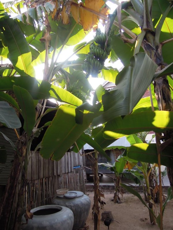 SATURDAY (12). There are some of the banana trees next to their home, giving beautiful cool green shade.