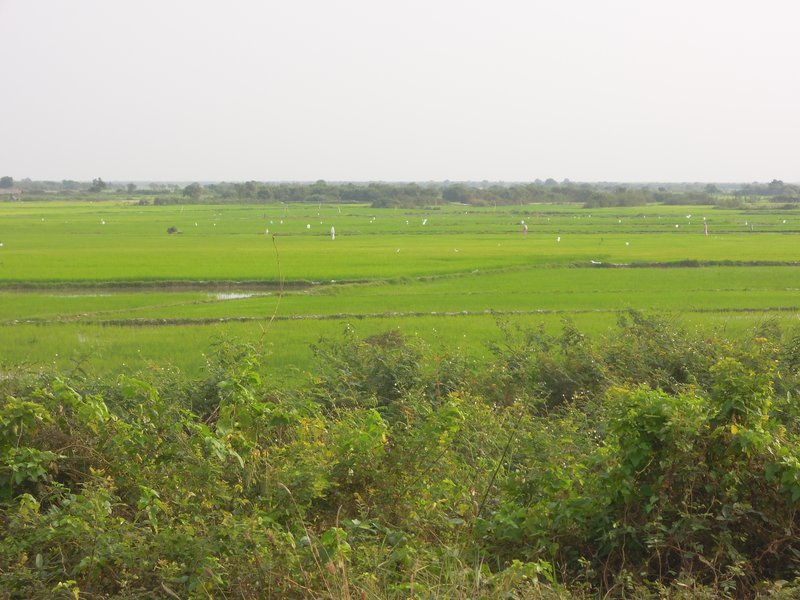"""Lush rice fields. Notice the """"sails"""" dotted amongst the fields."""