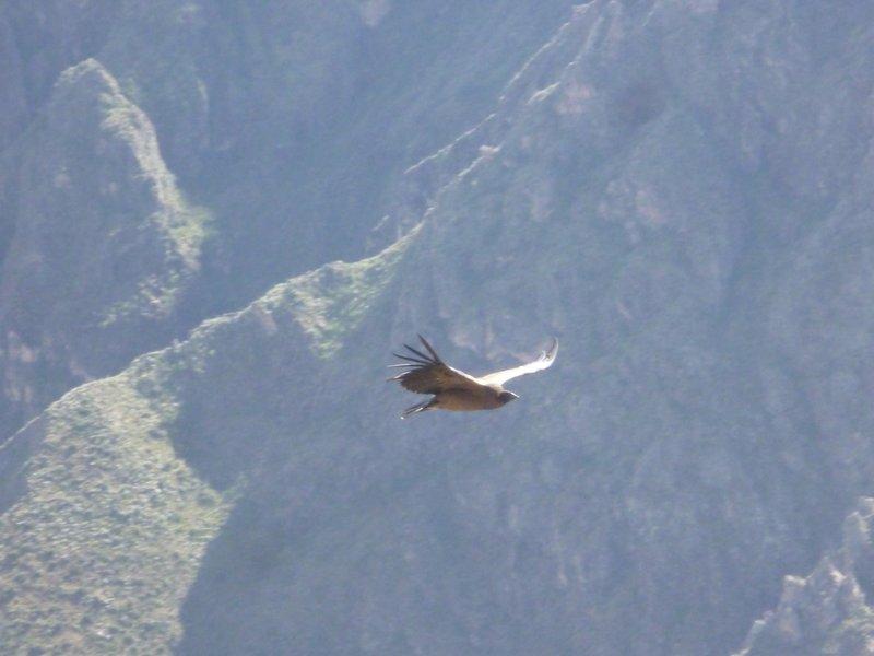 Condor at Condor Cross