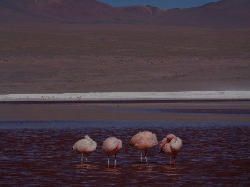 large_4_flamingo..na_colorada.jpg