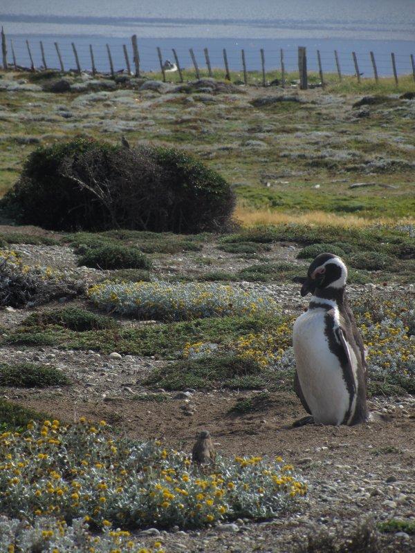 Penguino Magellenico