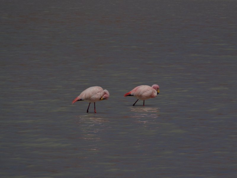 large_flamingoes_laguna_carina.jpg
