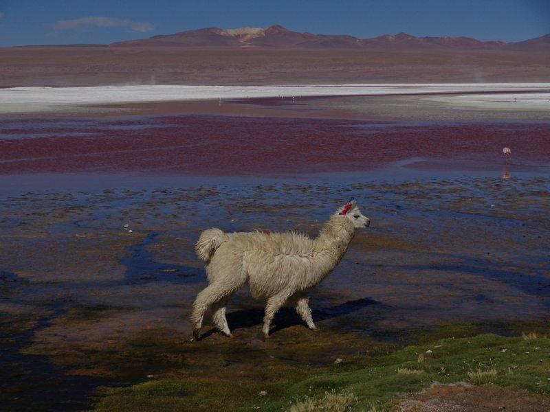 large_llama_at_laguna_colorada.jpg