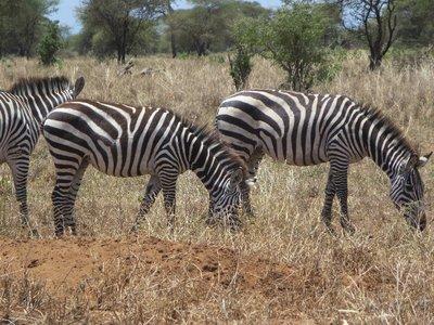 3_Zebra.jpg