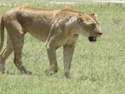 Lioness stalking a wildebeest in Ngorongnoro