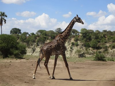 Giraffe_walking.jpg