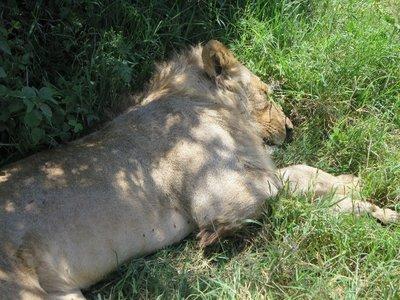 LionSleep.jpg