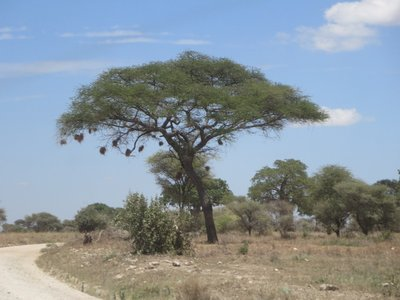 Weaver_bird_tree.jpg