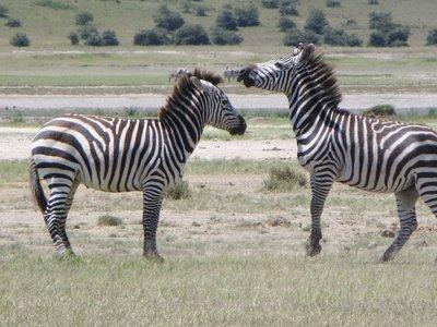 ZebraMate.jpg