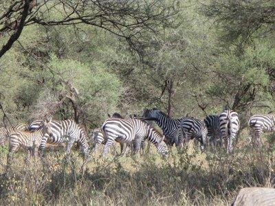 Zebra_Herd.jpg