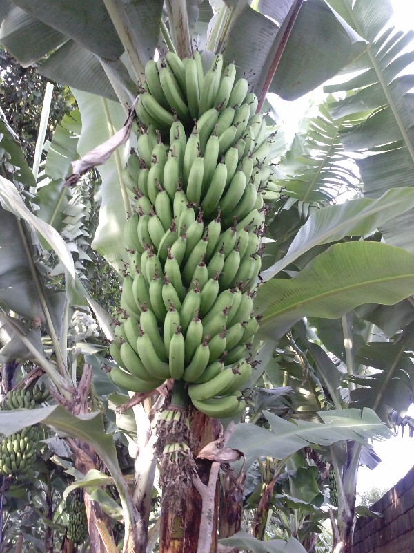 large_bananas201..20_17_45_53.jpg
