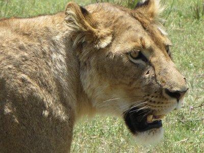 lionesshead.jpg