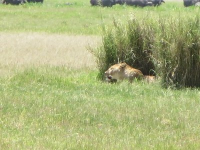 A pair of lions relaxing in the cool grasses