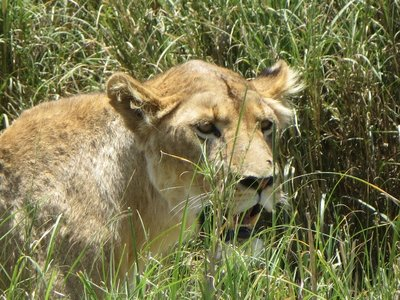 lionresting.jpg