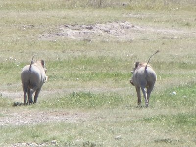 Warthogs 'hightailing' it away from us