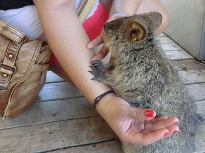 Beloved Quokka