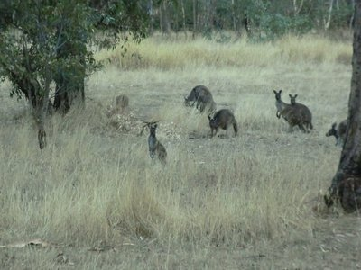 first  kangaroos in wild