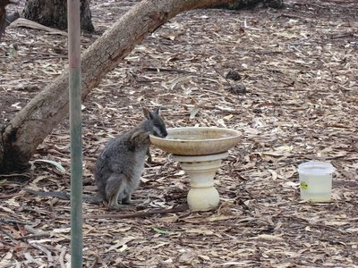 thirsty wallaby