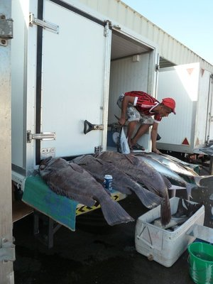 Ugly looking Fish being unloaded at Mutrah Fish Market