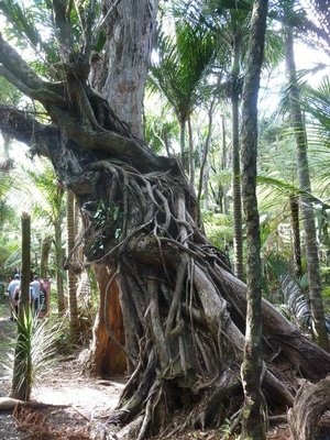 Rata Tree near Piha in the Waitakere Ranges Regional Park
