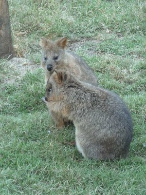 A pair of Quokkas at Featherdale Wildlife Park
