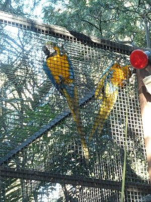 A pair of Blue and Yellow Macaws at Featherdale Wildlife Park