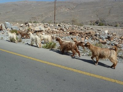 Goats at the side of the road on the way up to Jebel Shams