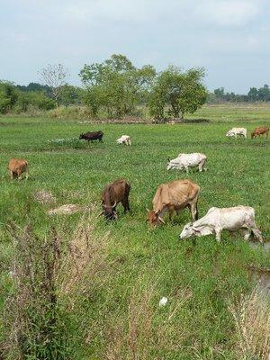 Water Buffalo grazing beside the road