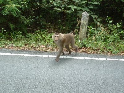 Our first sight of a Gibbon at the side of the road