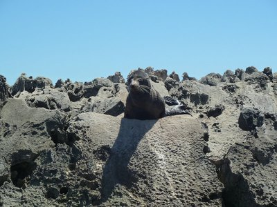 New Zealand Fur Seal at Cathedral Rocks on Rottnest Island