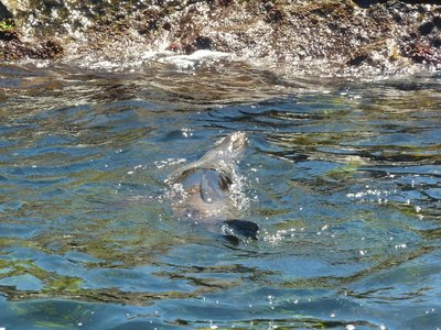 New Zealand Fur Seal floating on his back on Rottnest Island