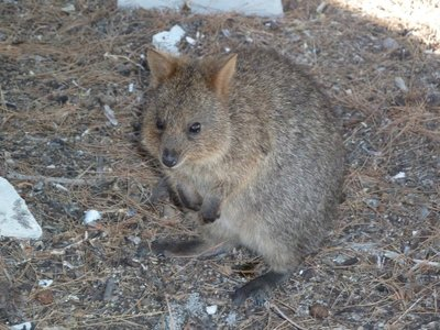 Quokka posing for me as I am about to board ship