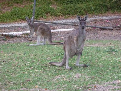 A couple of Kangaroos foraging in a front garden
