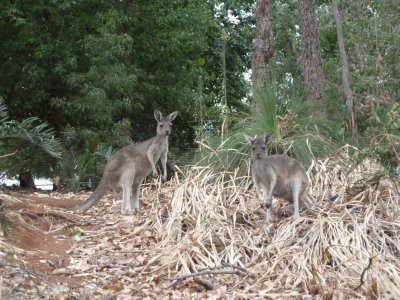 Kangaroos foraging in the Forest