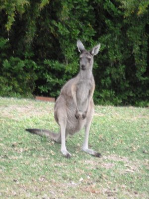One final photo of a wild kangaroo