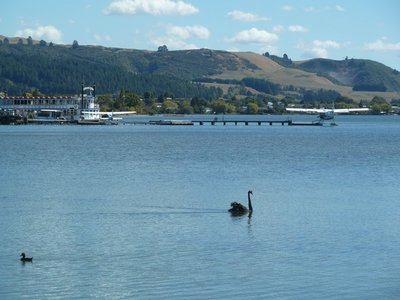 Black Swans, Paddle Boat and Float Planes on Lake Rotorua