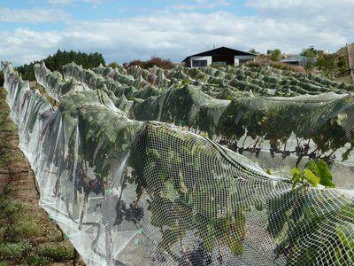 Vines covered by netting to protect them from the birds