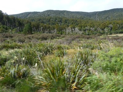 Native Podocarp broad-leaved Forest seen from the train