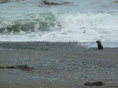 Seal coming ashore near Kaikoura