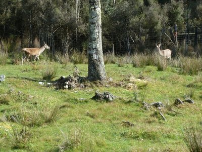 Deer in the paddock by the Bushman's Centre