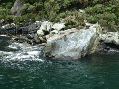 Seals on Seal Rock in Milford Sound