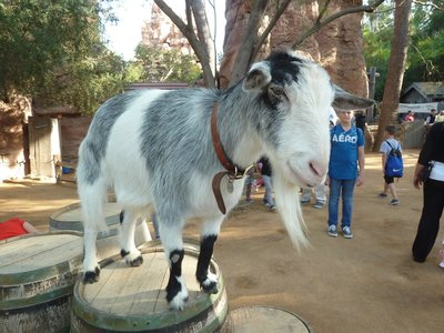 A friendly goat on a barrel in the petting zoo in Critter Country