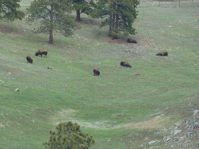 Bison grazing on a hillside next to the Interstate 70