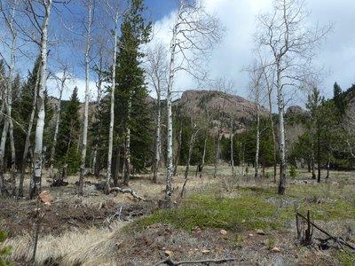 White-barked Aspen Trees in Staunton State Park