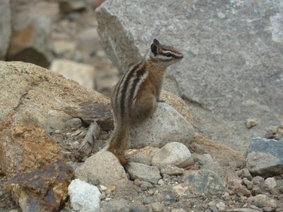 My first wild chipmunk - sighted at Rainbow Curve on Trail Ridge Road