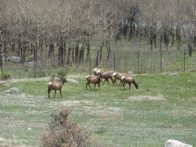 The initial small group of elk we spotted at Moraine Park