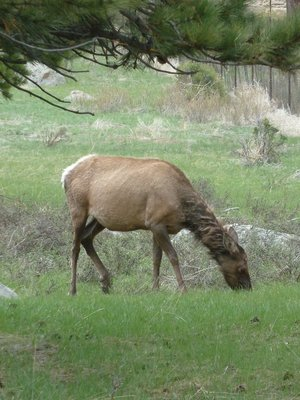 Close up of an elk grazing in Moraine Park