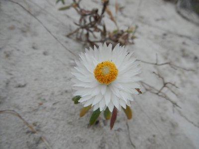 Paper daisy plant
